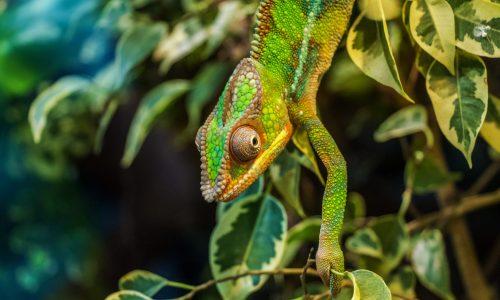 chameleon-384964